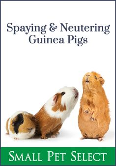 Spaying or neutering your guinea pig doesn't change behavior like it does in dogs and cats. But, are there health benefits? Is it safe? Guinea Pig Care, All About Animals, Healthy Pets, Mammals, Health Benefits, Your Pet, Dog Cat