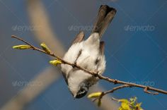Blue-gray Gnatcatcher ...  Blue-gray Gnatcatcher, Foraging, Polioptila caerulea, Wisconsin, animal, bird, birding, birdwatching, branch, conservation, environment, hanging, migrant, nature, outdoors, passerine, perched, songbird, spring, tree, upside-down, usa, wild, wildlife