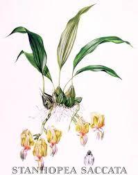 Kết quả hình ảnh cho botanical drawings of orchids