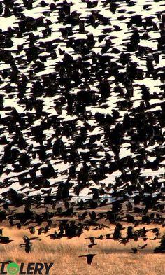 BLACKBIRDS IN FLIGHT