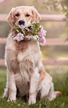 I totally see my family golden retriever & this pooch will have fun while playing in the courtyard the entire day! Hello July, Hello Spring, Girls Best Friend, Beautiful Creatures, Dog Love, Puppies, Golden Retrievers, Labs, Fur Babies