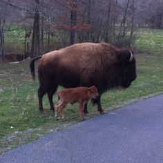 Elk & Bison Prairie at Land between The Lakes--Momma bison keeping baby calf close by her side. The calf kept wanting to cross the road. Mom was getting aggravated with her little one, but remained close. Photo by Regina