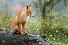 Red Fox by Roeselien Raimond - thrumyeye