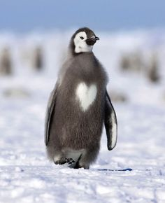 Romantic penguin wears its heart on its chest.