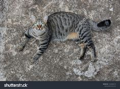 Find Tabby Cat Looking stock images in HD and millions of other royalty-free stock photos, illustrations and vectors in the Shutterstock collection. Thousands of new, high-quality pictures added every day. Photo Editing, Wildlife, Royalty Free Stock Photos, Cats, Illustration, Artist, Pictures, Photography, Animals