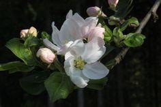 Epletre i blomst