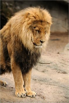 Awsomest lion mane I have ever seen! Lion And Lioness, Lion Mane, Pumas, Beautiful Cats, Animals Beautiful, Majestic Animals, Animals And Pets, Cute Animals, Lion Photography