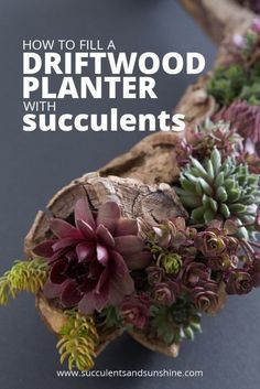 Learn how to fill a driftwood planter with succulents to go on your shelf at home or at the office.