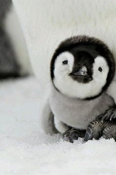 Tiny, tiny penguin!