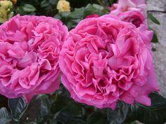 'Rosa x Centifolia', 'Choux Rose', before 1450