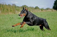 Doberman-I had one growing up and she was one of the best dogs I ever had!