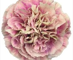 Buy wholesale cut Antigua Carnations for delivery to any UK address. Carnation Antigua are pink/cream, tall & ideal for bridal work & wedding flowers. No minimum order required - Floral accessories also available. Dianthus Flowers, Flowers Uk, Types Of Flowers, Colorful Flowers, Beautiful Flowers, Fabric Flowers, Diy Wedding Flowers, Floral Wedding, Carnation Colors