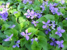 Violets- my favorite :)