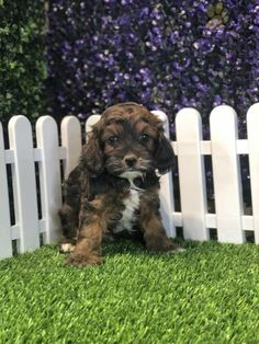 Elijah - Cockapoo Puppy for Sale in Shipshewana, IN | Lancaster Puppies Cockapoo Puppies For Sale, Mini Poodles, Lancaster Puppies, Snuggles, Dogs, Animals, Animales, Animaux, Pet Dogs