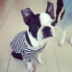Boston terrier ♥