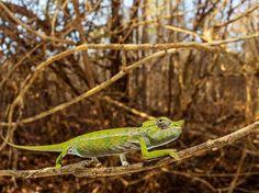 Fotografia di Christian Ziegler, National Geographic  Un camaleonte di Labord si aggrappa a un ramo.