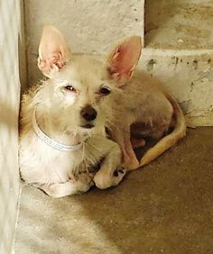 Saving Carson Shelter Dogs This sweet angel is so scared she is trying to observe and get used to being in the kennel so she stays in the corner where she feels it's safe. Please take another look at this little girl and SHARE, she needs some help. Thanks!  #A4762088 I'm an approximately 3 year old female chihuahua sh. I am not yet spayed. I have been at the Carson Animal Care Center since October 1, 2014. I will be available on October 5, 2014. You can visit me at my temporary home at C248.