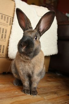 The unlikely history of the Cinnamon Rabbit breed. Bred in Missoula MT