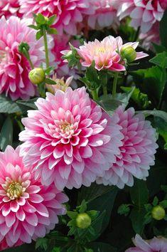 Flowers Nature, Exotic Flowers, Amazing Flowers, My Flower, Flower Power, Pink Flowers, Beautiful Flowers, Purple Dahlia, Simply Beautiful