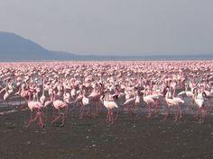 Lake Nakuru, home to 2 million migrating flamingoes African Impact, Modern City, Kenya, Traveling By Yourself, Scenery, Gender, Landscape, Paisajes, Nature