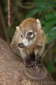 White-nosed Coati (Nasua narica) - photo from Simone's Kitchen;  Coatis (or Coatimundi) are members of the raccoon family that live in South America, Central America, and southwestern North America. All coatis have a slender head with an elongated, flexible, slightly upward-turned nose, small ears, dark feet, and a long, non-prehensile tail used for balance and signaling.  Some have rings around their tails.  They are about the size of a large house cat.   - info from Wikipedia