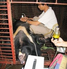 Petition · We Ask China's Minister Mr. Xiaosong Zheng To Shutdown All Bear Bile Farms · Change.org