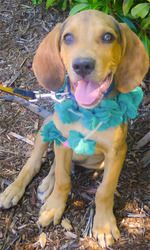 Pokey big happy boy is an adoptable Bloodhound Dog in Redding, CA. Located in Redding CA  Bloodhound/Coonhound/Catahoula  video on our site under FURRY FRIEND link For detailed adoption process se...
