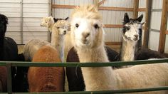 How to Choose Top Quality Alpacas