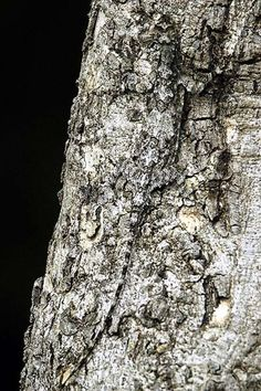 Geckos, Camouflage, Amazing Animals, You Can't See Me, Animal Adaptations, Reptiles And Amphibians, Vertebrates, Science And Nature, Belle Photo