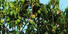 World Top Mango Producing Countries