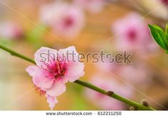 Pink flower on a peach tree branch. Macro