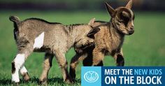 New Kids on the Block: Why Goats are Cropping Up in Suburban Backyards