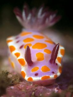 🔥 I forget which Pokémon this is. (Actually a Ceretosoma amoenum — a kind of mollusk) 🔥 Underwater Creatures, Ocean Creatures, Underwater Life, Weird Creatures, Beautiful Sea Creatures, Sea Slug, Life Aquatic, Sea Monsters, Ocean Life