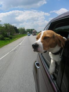 Cooper Beagle