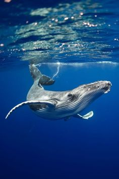 Humpback Whale Pose by Maria Teresa Lara Humpback Whale Pose by Maria Teresa LaraYou can find Humpback whale and more on our website.Humpback Whale Pose by Maria Teresa. Under The Water, Under The Sea, Animals Tattoo, Regard Animal, Whale Art, Animal Facts, Humpback Whale, Whale Sharks, Ocean Creatures