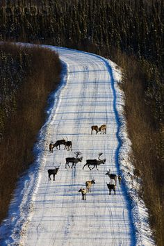 Caribous crossing Dempster Highway during hunting season.  Caribous belonging to the Porcupine Caribou herd in the Arctic National Wildlife Refuge. The caribous have become threatened by the opening of more and more oil drilling sites.  Yukon Canada- photo byTheo Allofs