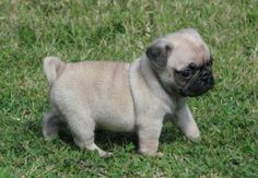 CUTE PUGGIES FOR FREE REHOMING