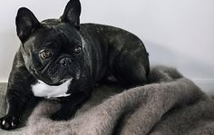 Grey Kare - Manta de mohair - Hanniko, handmade with love French Bulldog, Blankets, Grey, Dogs, Handmade, Animals, Dog Blanket, Bed Covers, Teachers