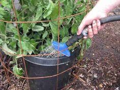 Arrosez abondamment les plantes de tomates