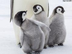 Baby animals, funny animals, cute animals, animal babies, all gods cr Penguin Day, Penguin Bird, Penguin Love, Cute Baby Penguin, Penguin Parade, Penguin Craft, Penguins And Polar Bears, Baby Penguins, Cute Baby Animals