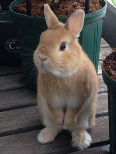 His name is HOTATE netherland dwarf Netherland Dwarf, Bunny Rabbits, Cute Bunny, Cute Animal Pictures, Beautiful Creatures, Animals Beautiful, Coelho, My Animal, Snuggles