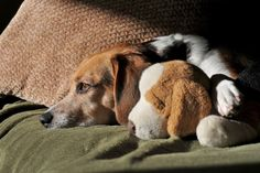 Beagle with a stuffed beagle! More pics of animals with stuffed versions of themselves here.