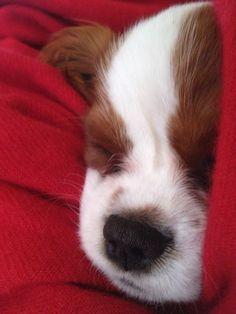 My dog Ginger