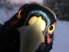 The ULTIMATE Pheasant Cam! Trail Camera Photos from Ultimate Pheasant Hunting