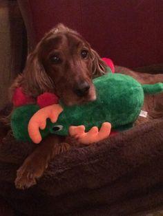 Scarlett ~ Irish Setter Pup ~ Classic Look Doggies, Dogs And Puppies, Red And White Setter, Irish Setter Dogs, Scottish Deerhound, Irish Terrier, Boy Dog, Irish Wolfhound, Dog Pictures