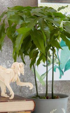 Wegen ihrer immergrünen, gefiederten Blätter und den auffälligen Samen, aus denen die Pflanze wächst, wird die Australische Kastanie als Zimmerpflanze immer beliebter.