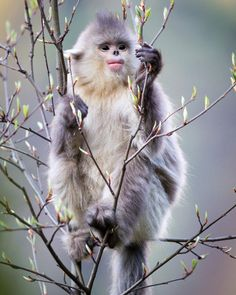 A young Yunnan snub-nosed monkey eating leaf buds, Yunnan Province, China.
