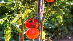 Finomabb és olcsóbb, mint a bolti. Vegetables, Garden, Garten, Lawn And Garden, Vegetable Recipes, Gardens, Gardening, Outdoor, Veggies