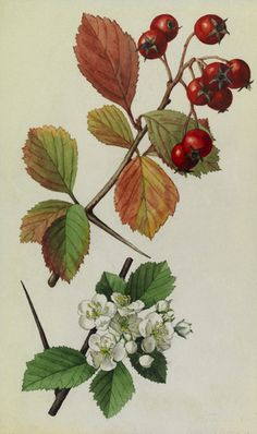 848390.  A sprig of fleshy hawthorn tree berries and blossoms.