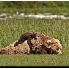 Kodiak Bear and cub: The family of bears posing for their family portrait experienced a true Kodiak moment.